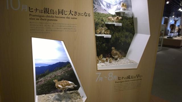 大町山岳博物館2階ライチョウ展示3
