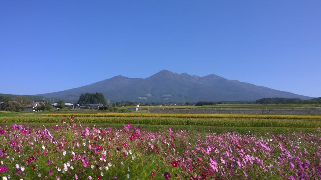 コスモスと秋の八ヶ岳