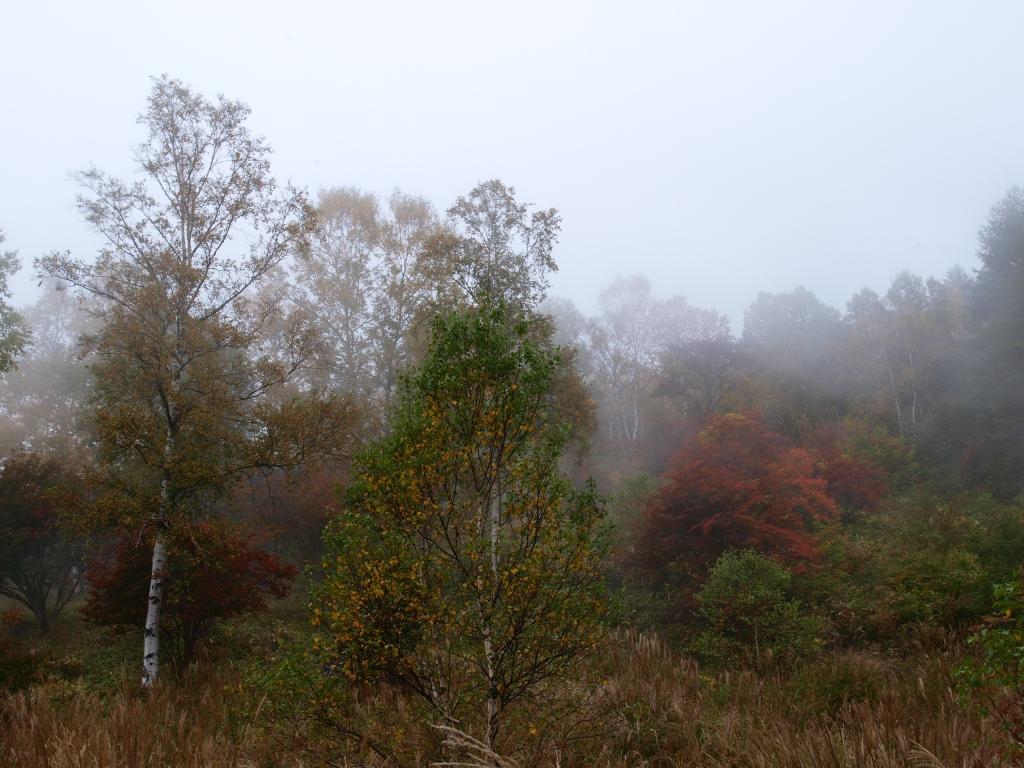 霧の八千穂高原の白樺黄葉2