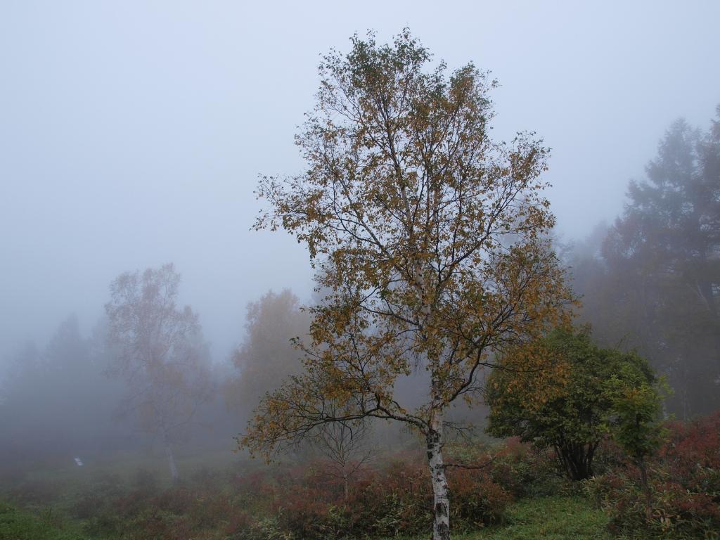 霧の八千穂高原の白樺黄葉1
