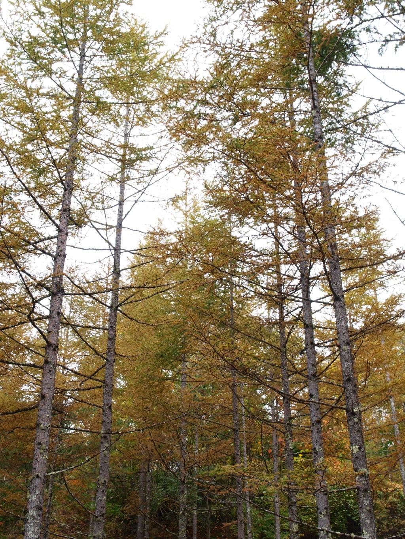 八千穂レイクの落葉松黄葉