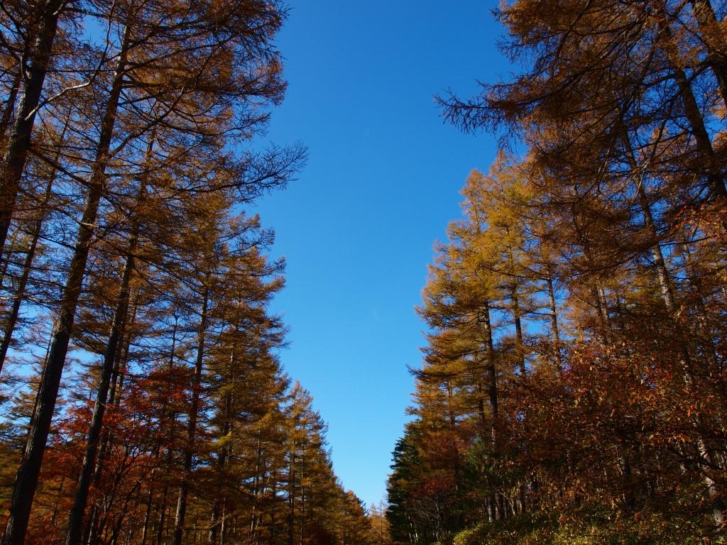 秋の入笠山、大阿原湿原の落葉松4