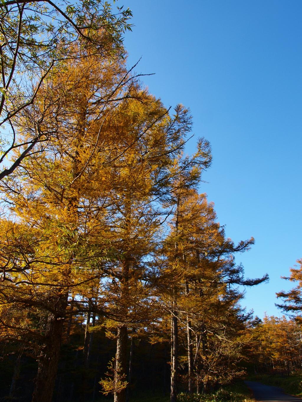 秋の入笠山、大阿原湿原の落葉松5