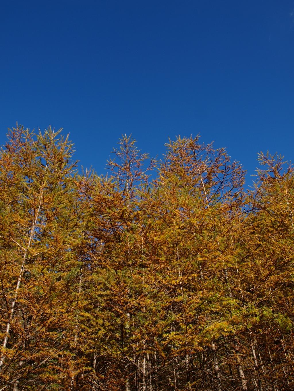 秋の入笠山、大阿原湿原の落葉松6