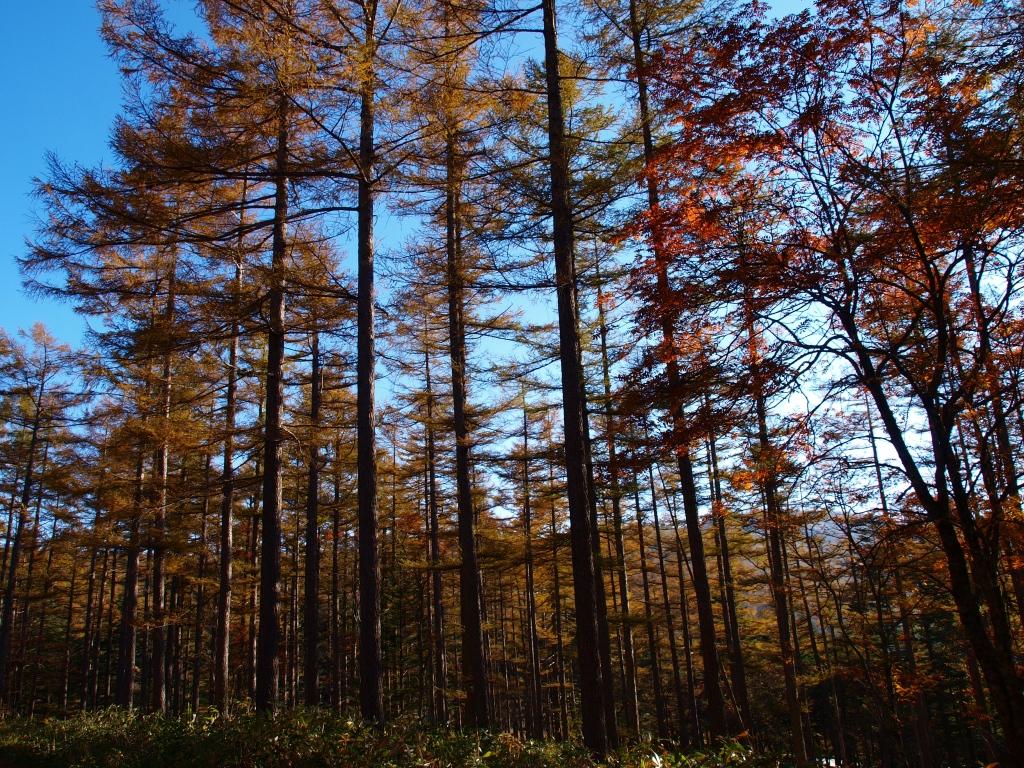 秋の入笠山、大阿原湿原の落葉松7