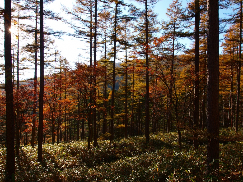 秋の入笠山、大阿原湿原の落葉松8