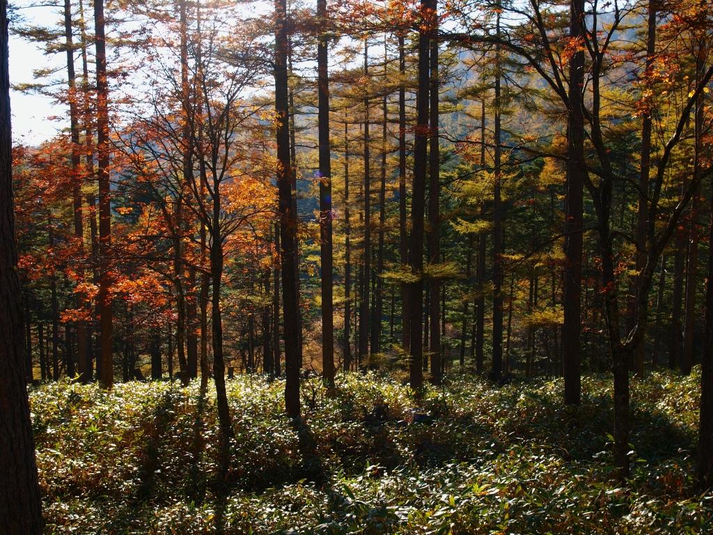秋の入笠山、大阿原湿原の落葉松9