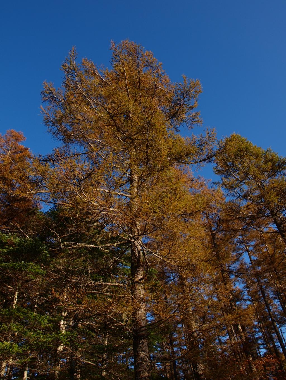 秋の入笠山、大阿原湿原の落葉松10