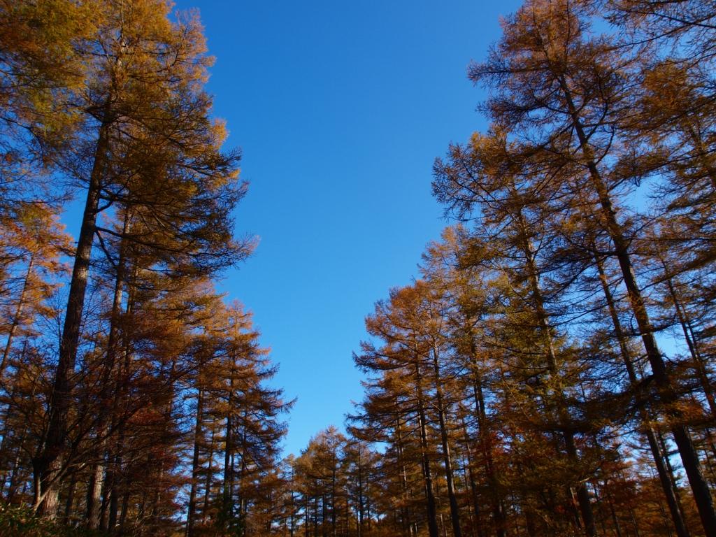 秋の入笠山、大阿原湿原の落葉松11