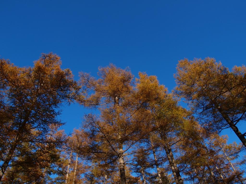 秋の入笠山、大阿原湿原の落葉松12