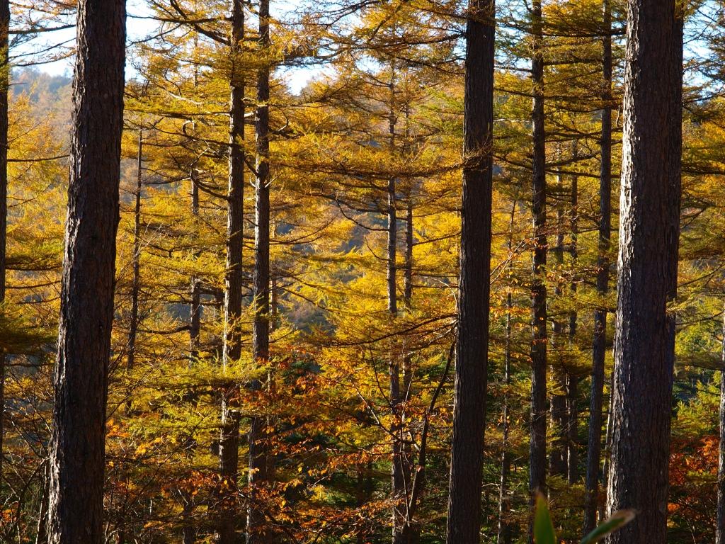秋の入笠山、大阿原湿原の落葉松13