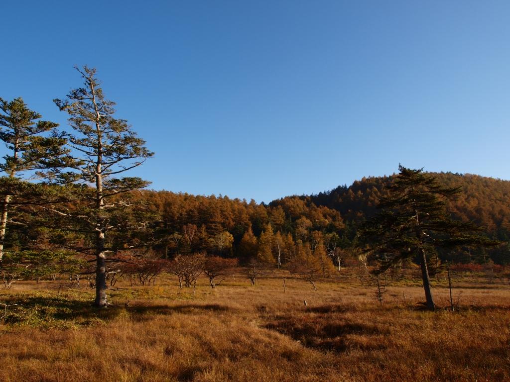 秋の入笠山、大阿原湿原の落葉松3
