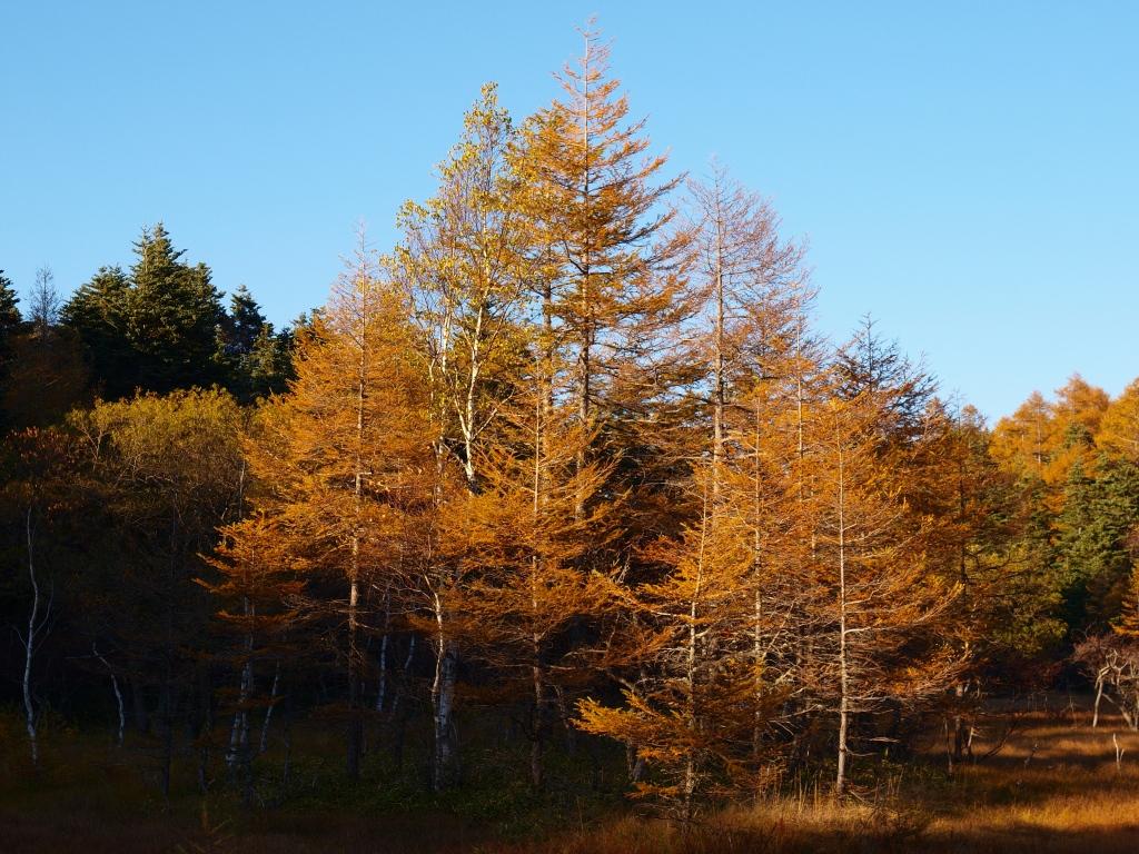 秋の入笠山、大阿原湿原の落葉松1
