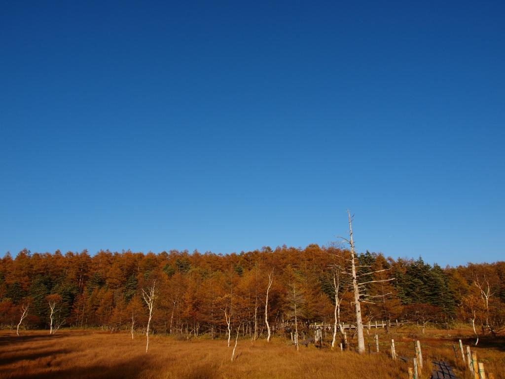 秋の入笠山、大阿原湿原の落葉松2