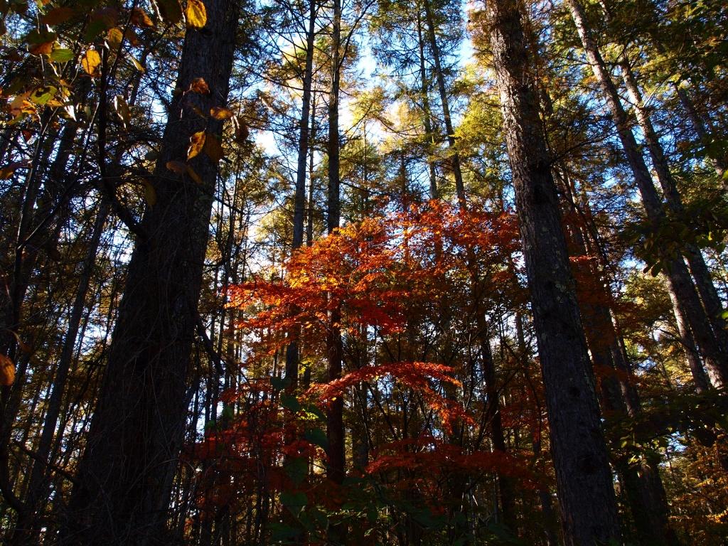 落葉松の木立に輝く紅葉