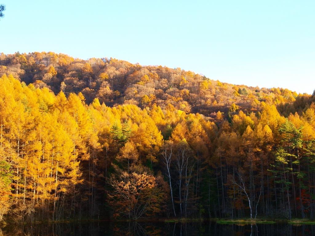 落葉松の黄葉と御射鹿池20141025_3
