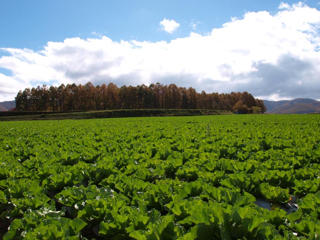 落葉松の黄葉と高原野菜