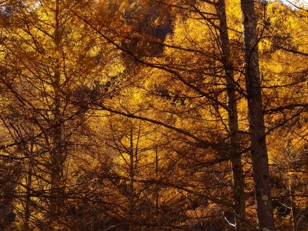 日影入林道の落葉松黄葉20141103_4