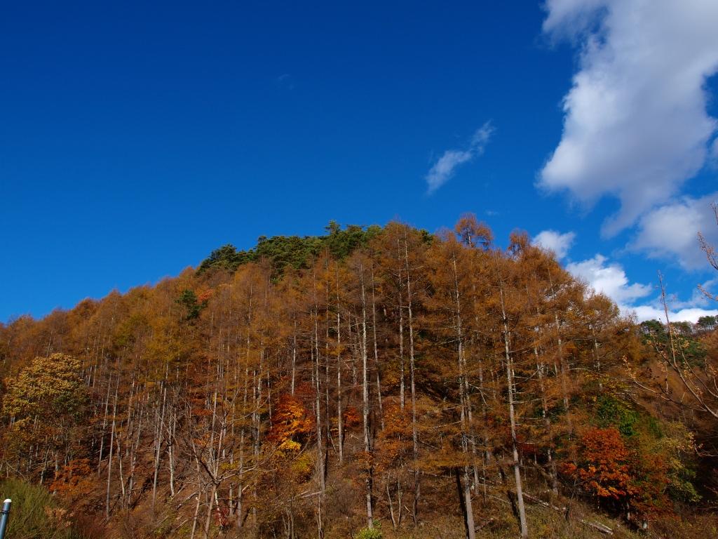 日影入林道の落葉松黄葉20141103_3