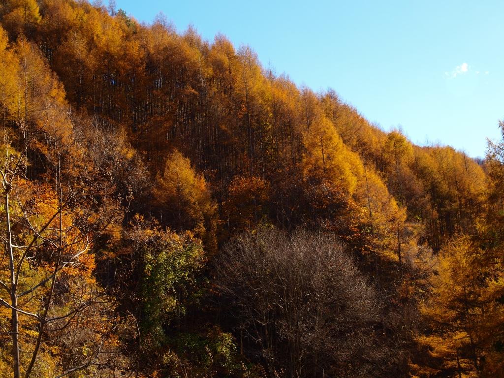 日影入林道の落葉松黄葉20141103_1