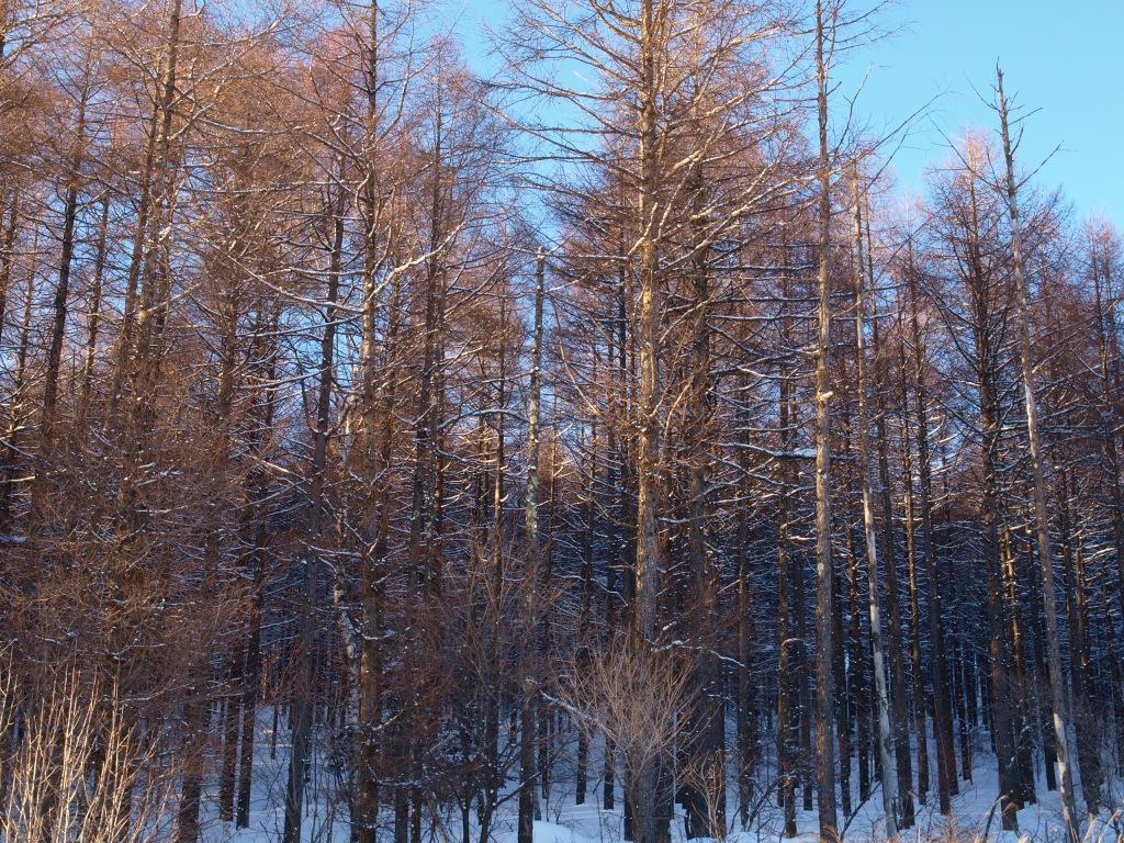雪と落葉松の杜1