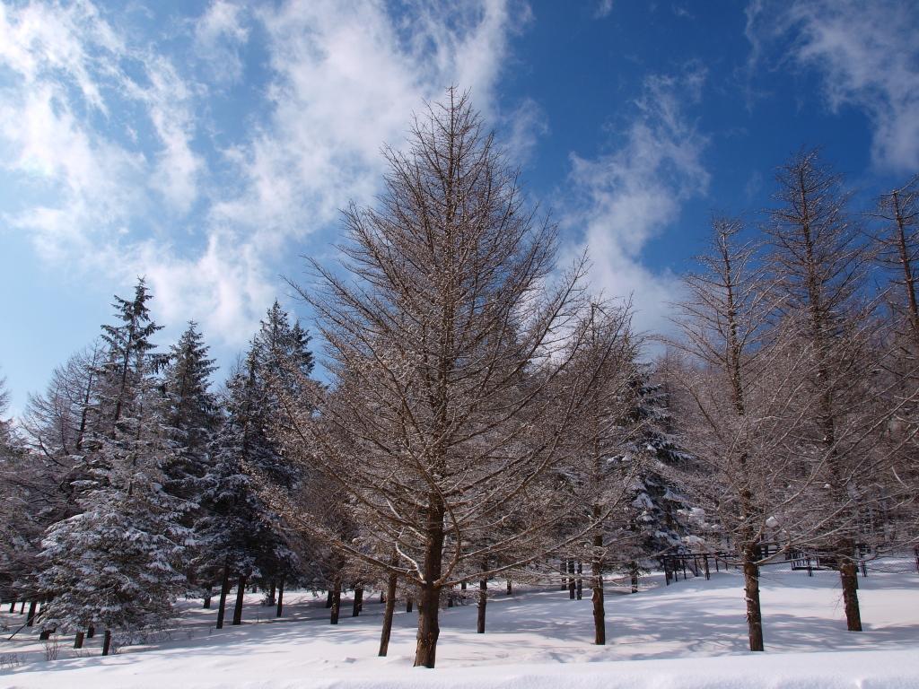 碧空と雪原の落葉松1
