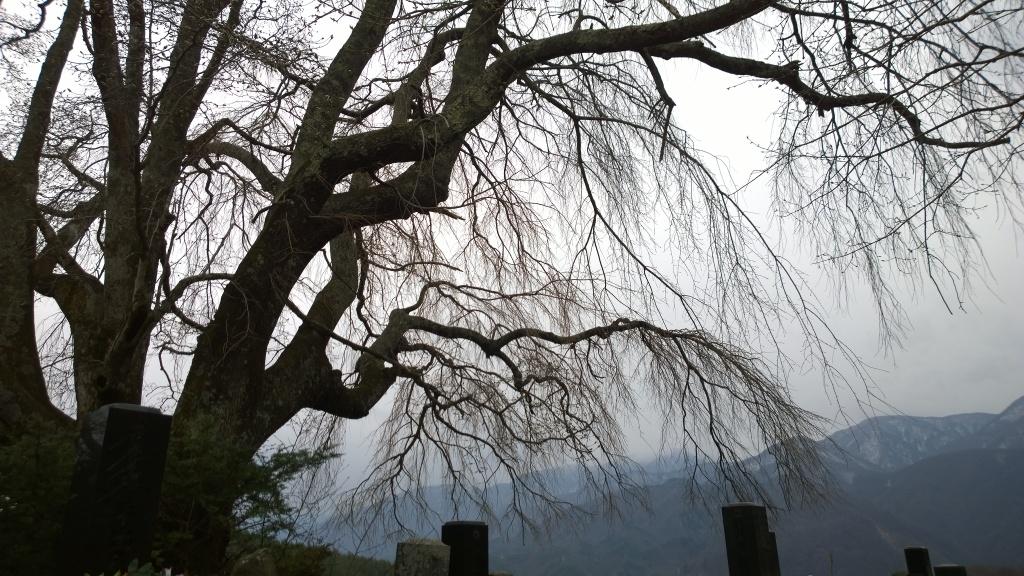 驟雨の中、開花前の田端の枝垂桜1