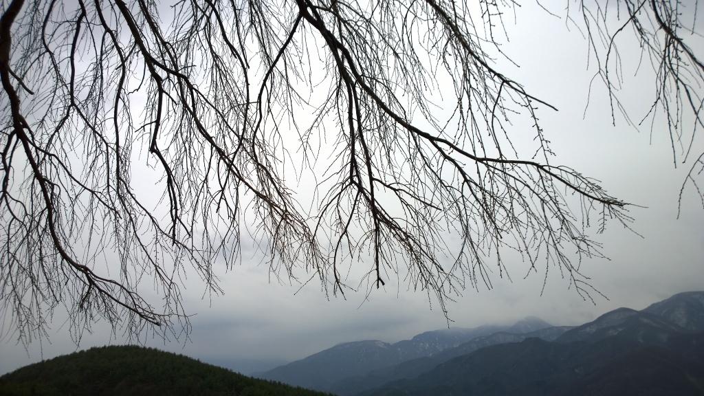 驟雨の中、開花前の田端の枝垂桜2