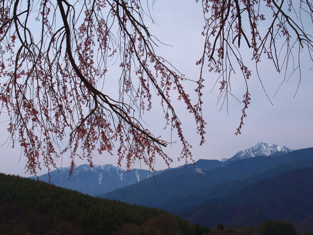 花開く田端の枝垂桜