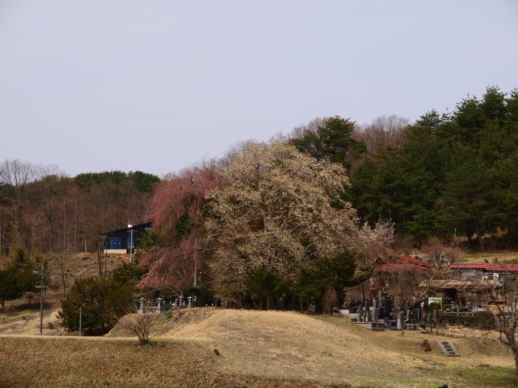 田端の枝垂桜とコブシの花