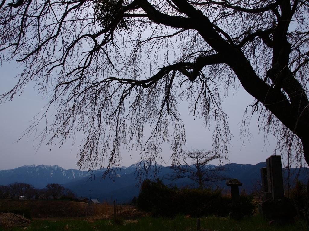 開花を待つ葛窪地籍の枝垂桜
