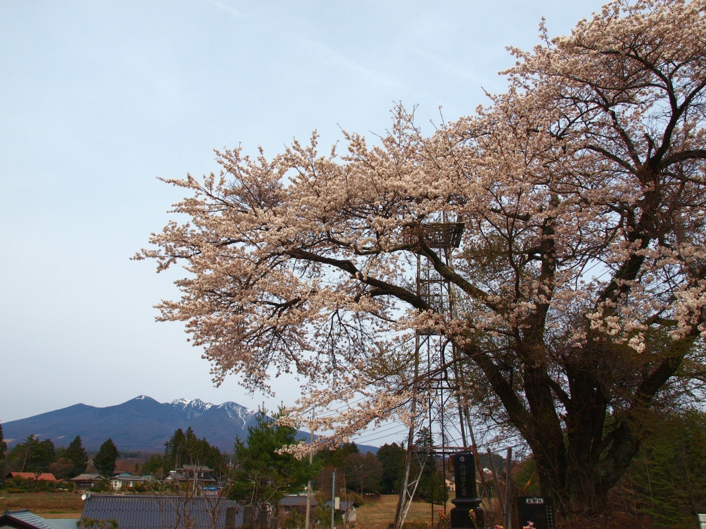 満開の桜と八ヶ岳