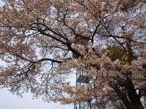 火の見やぐらと桜の花