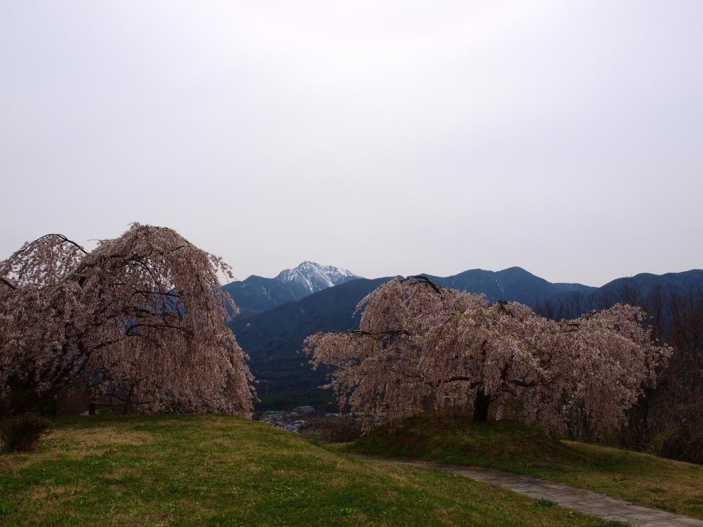 甲斐駒と枝垂桜7