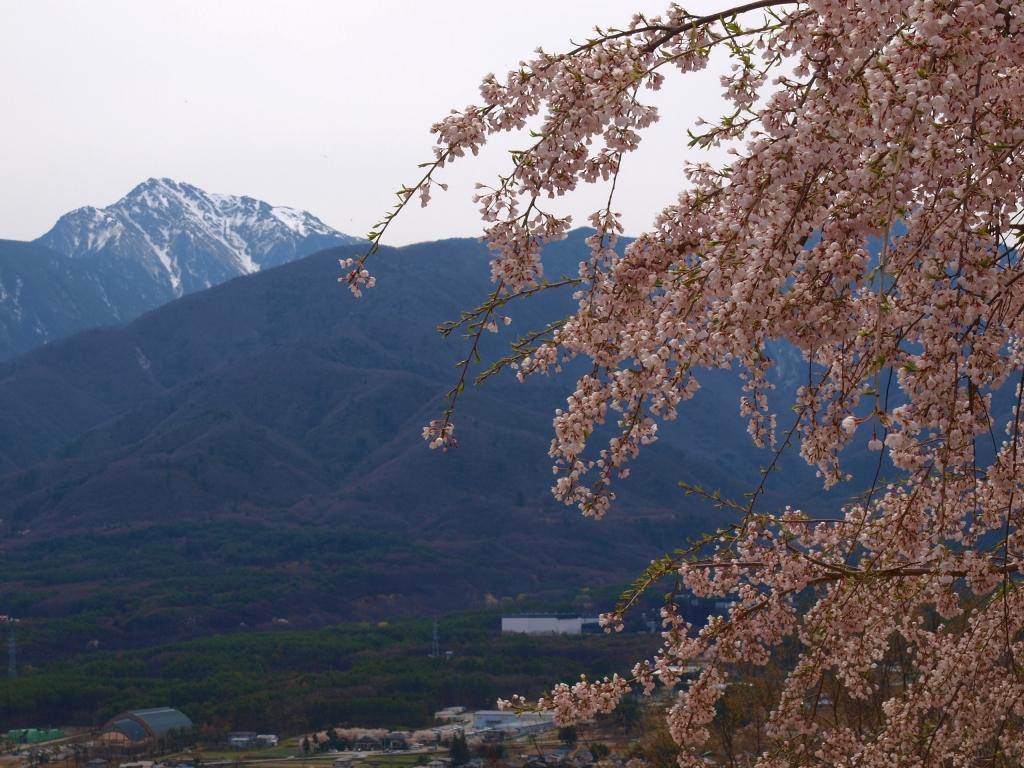 甲斐駒と枝垂桜4