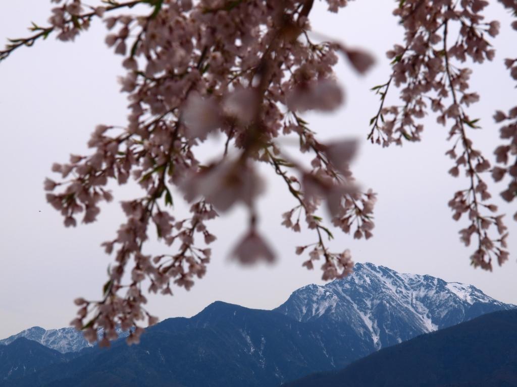 甲斐駒と枝垂桜5
