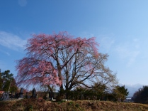 開花を迎えた田端の枝垂桜1