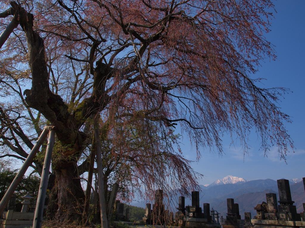 開花を迎えた田端の枝垂桜2