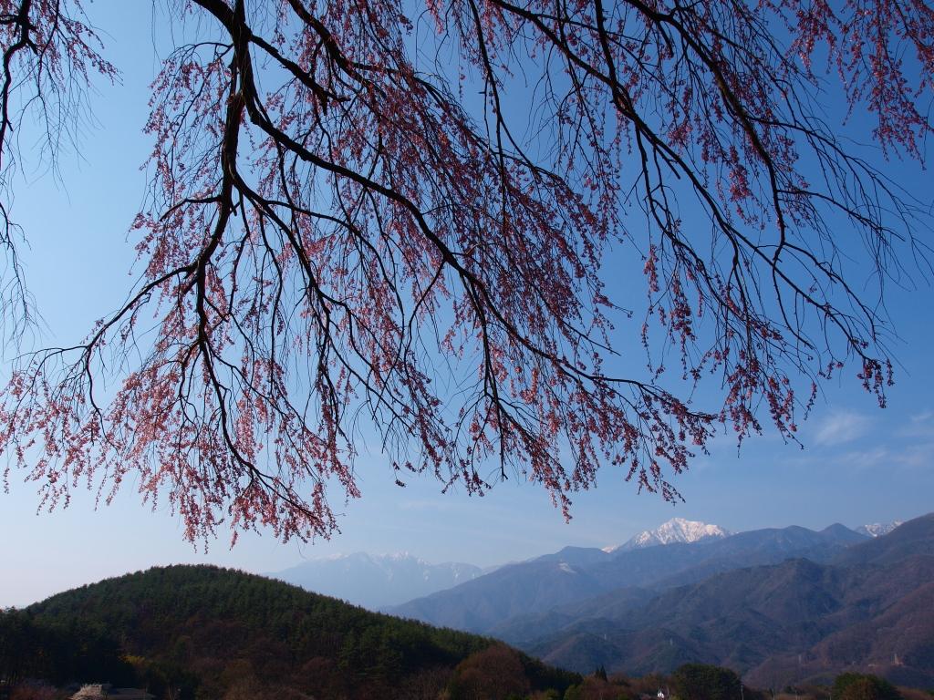 開花を迎えた田端の枝垂桜3