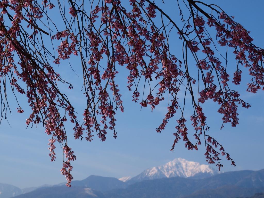 開花を迎えた田端の枝垂桜4