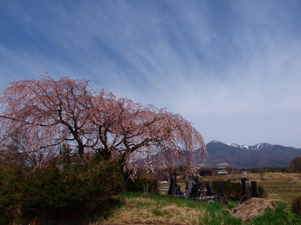 葛窪地籍の枝垂桜と八ヶ岳