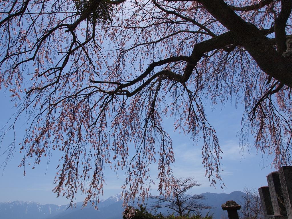 午後の日差しと葛窪地籍の枝垂桜