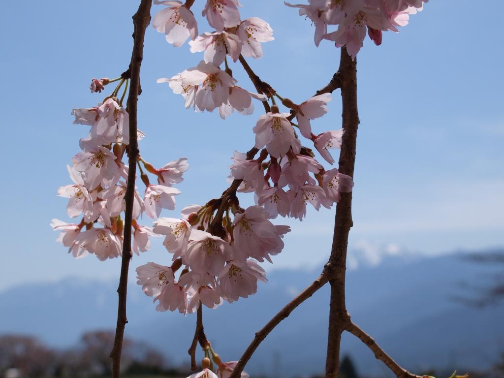 枝垂桜の花びら