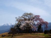 午後の田端の枝垂桜7