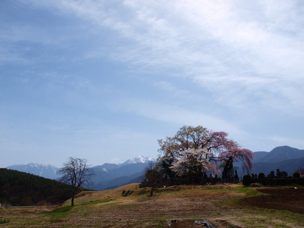午後の田端の枝垂桜6