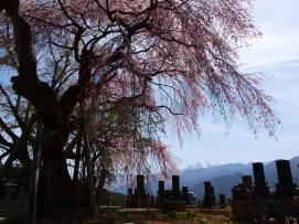 午後の田端の枝垂桜5