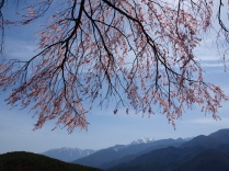 午後の田端の枝垂桜4