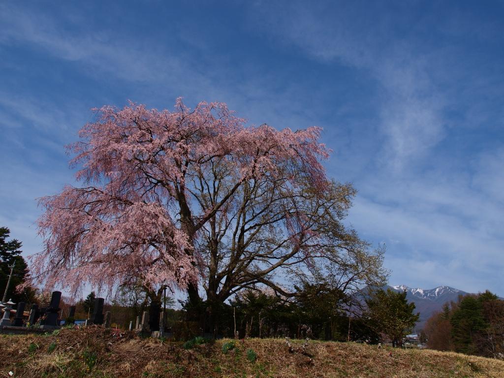 午後の田端の枝垂桜3