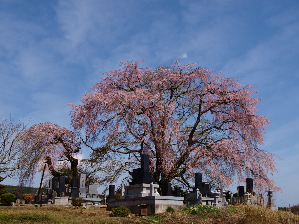 午後の田端の枝垂桜2
