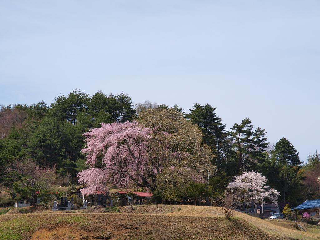 午後の田端の枝垂桜1